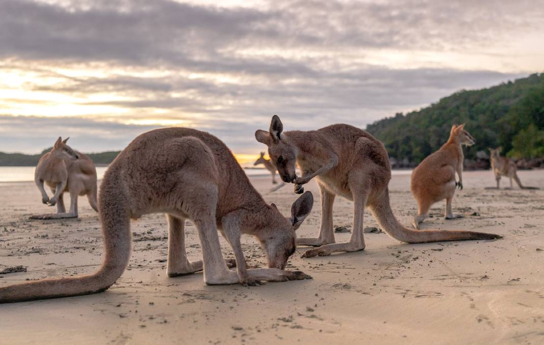 Kangaroos and wallabies at sunrise on the beach at Cape Hillsborough. Pictures: Michael Turtle